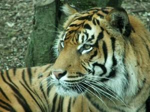 tiger by cheetah100